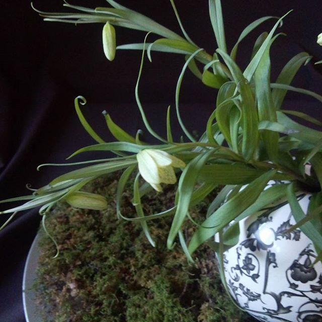 明るいグリーンの茎葉に淡いグリーンの花を俯くようにつけるバイモユリは、茶花としても人気の植物です。葉の先がくるりとカールをしている様子はアールヌーヴォーの絵のような優雅さすら感じさせます。