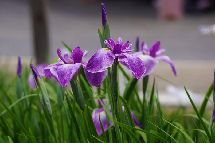 ショウブ湯のショウブ。これはお花のショウブと混同しがちですが、湿地に生えるお花の植物とは全く異なる植物です。花菖蒲の葉ではないのですね。