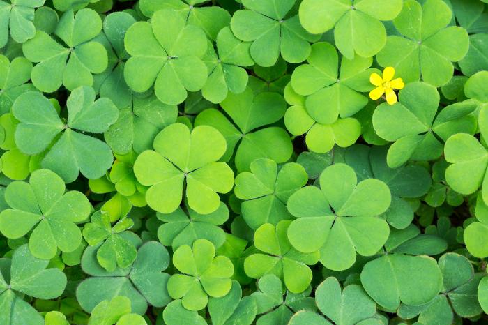 葉がハート形をしているなんとも可愛らしいこの植物の名前は「カタバミ」。  漢字で書くと「酢漿草」「片喰」。  ハートのイメージとは異なり、なんだかイカつい名前ですね。  カタバミ科カタバミ属学の多年草。  学名は「Oxalis corniculata」、英名は「Sorrel」。  別名「黄金草」や「鏡草」、「スイモグサ」、「銭みがき」など他にもその地方によって様々な名前で呼ばれています。  「スイモグサ」は、葉や茎に酸味があることから名付けられ、「黄金草」や「鏡草」、「銭みがき」はカタバミに含まれているシュウ酸を活用して、カタバミの葉で古い十円玉を磨くと黒ずみがとれ綺麗になることから名付けられました。  この名前の多さは、カタバミが日本全国に分布している背景にあります。  一番ポピュラーな名前「カタバミ」の名前の由来は、夜になると葉が折れたように閉じられる生態から「葉が半分食べられてように見える」ため「片喰」と名がついたようです。