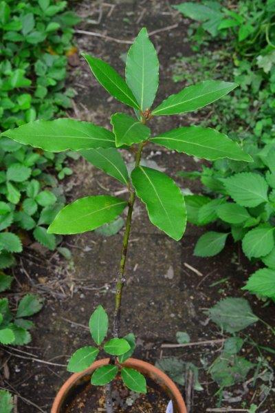 月桂樹(ローリエ)は、鉢植えでも地植えでも育てることができます