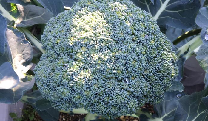 ご自宅のベランダで秋から冬にかけて家庭菜園を始めたい方に、とってもおすすめしたいのはブロッコリーです。 ブロッコリー栽培の良いところは、寒さに強く、半日陰でも十分育ち、ブロッコリーの頂花蕾(ちょうからい)を収穫した後も次々出てくる側花蕾(そくからい)やブロッコリーの葉っぱまでも美味しく食べることができるので本当におすすめです! 今回はベランダでできる、秋冬シーズンのブロッコリーの育て方のコツをご紹介します。