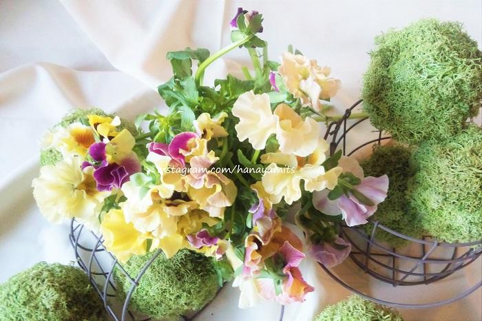 ご存知の方も多いパンジーです。和名は「三色スミレ」、露地に植えると非常に丈夫で、花が少なくなる10月~4月にお花を咲かせてくれる優れものです。日当たりが良ければ次々と花芽を上げてくれます。  切り花として出回っているものには花弁にフリルがついていたり、複色のものなど、一輪で複雑な表情を見せてくれるものもたくさんあります。花束に入れると、圧倒的な存在感を放つというよりも、全体の色の調和や雰囲気に奥行きと複雑さを出してくれる、重要な役割を担ってくれます。