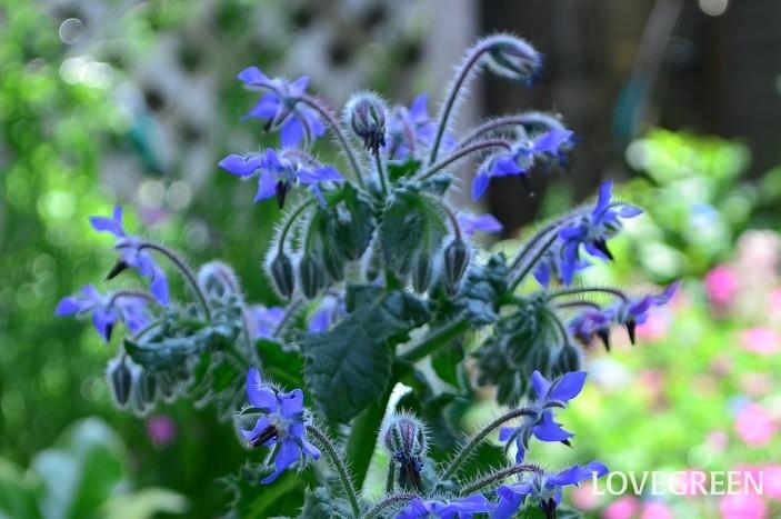 開花時期5月~7月  ボリジは1年草のハーブ。地植えにすると50cmほどの花丈になる草花です。青い星型の花が5月ごろ開花します。花はかわいらしいですが、性質は強健。主軸の茎は500円玉サイズくらいの直径になることも。環境にあうと、こぼれ種で発芽するほどです。花はエディブルフラワーになります。  ボリジは、ブルーの品種が一般的ですが、白花のボリジ(1年草)や宿根ボリジ(多年草)もあります。