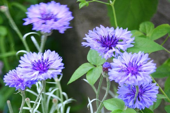 もともとの原種のヤグルマギクと言えば、青い花。