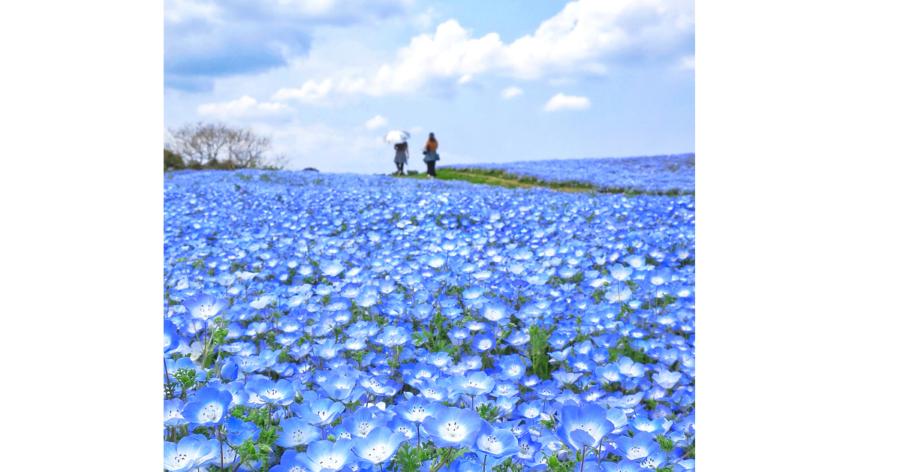 福岡に春を告げるイベント「海の中道フラワーピクニック」は、ネモフィラ150万本の広大な青の花畑や博多織文様花壇など見どころが満載。期間中の週末を中心に、動物ふれあいやクラフト体験などのイベントが楽しめます。ゴールデンウイークには人気グルメイベント「C-1 CUP in Uminaka」を開催。