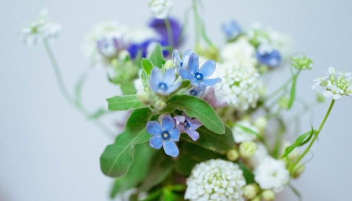 花言葉は「幸福な愛」「信じあう心」。  ベルベットのような肌触りの緑の葉に、空色と小さな星のお花がアクセントになって、祝福の気持ちを伝えるのにぴったりのお花です。