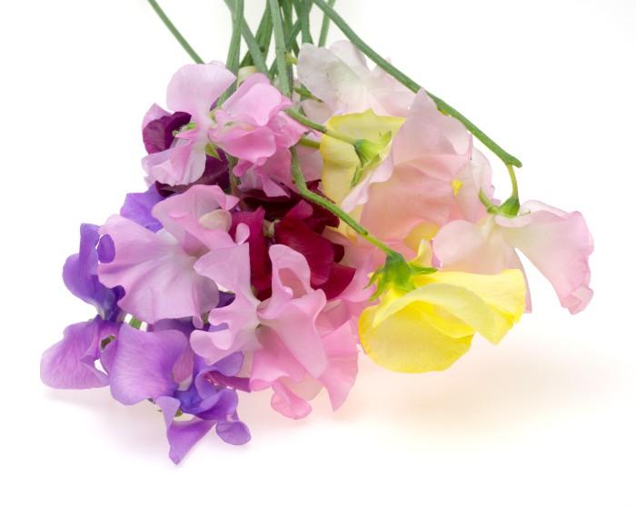 花びらがいまにも飛び立つ蝶々にも見える、柔らかい雰囲気のある春の花スイトピー。  色はピンク、白、赤、紫などがあります。花束にもアレンジしやすいお花です。