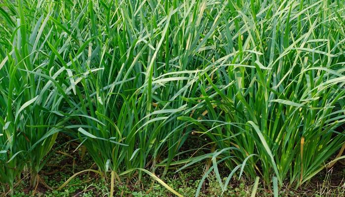 にらはこの時期旬を迎えます。1株から複数回収穫が可能ですが、一番最初に収穫できるにらが、一番柔らかく味もいいのだそう。