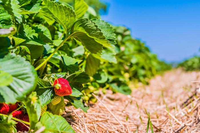 何もフィルムで覆うだけがマルチではありません。昔から藁(わら)をはじめとする有機物で土壌を覆い、作物の栽培が終ると有機物のマルチごと漉(す)き込んでふかふかの土にしていました。マルチをしながら土壌改良もできるので一石二鳥のマルチなんです。  有機物マルチ~植物質 植物質堆肥は土壌改良効果が高いのが特徴です。  藁(わら)など 昔から行われていたマルチの方法は、藁(わら)や落ち葉、作物の茎葉、雑草などの有機物で作物の根を覆っていました。