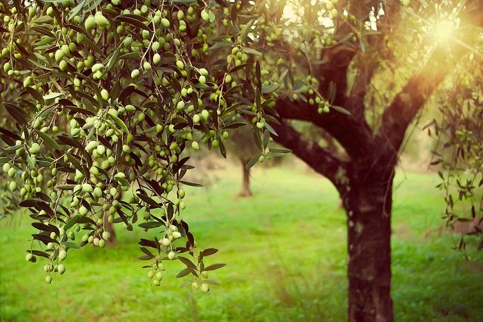 常緑樹は一年中緑を絶やさず、お庭に豊かな表情をつけてくれる植物です。冬の寂しくなったお庭で青々とした姿でいてくれます。冬でもグリーンを絶やしたくないというお庭におすすめです。