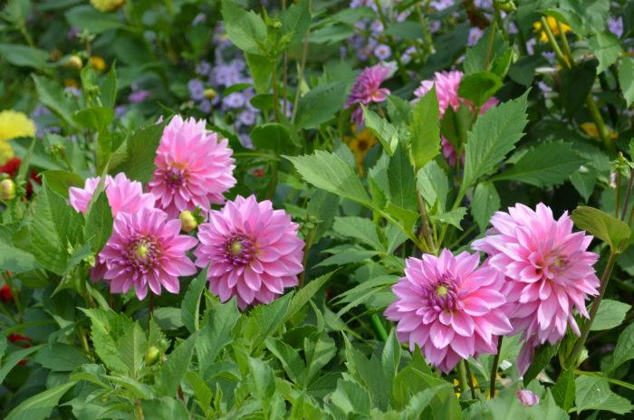 ダリア  だんだんと北海道の秋が深まり、植物の実も色付く季節になります。  上野ファームでは耐寒性の弱いダリアは、秋に球根を掘り上げて、再度春以降鉢で育ててから地植えされるという、ひと手間かけた様々な種類のダリアを楽しむことができます。  キンポウゲ科の仲間で、秋の風情を感じるシュウメイギクや別名エゾキクとも呼ばれるアスターも見どころです。
