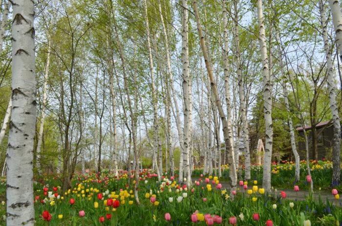 緑と白の色彩が美しい白樺の小道。この道はノームの庭にも続いています。春は白樺の隙間からスイセンやチューリップが顔を出し、華やかな雰囲気になるんです。