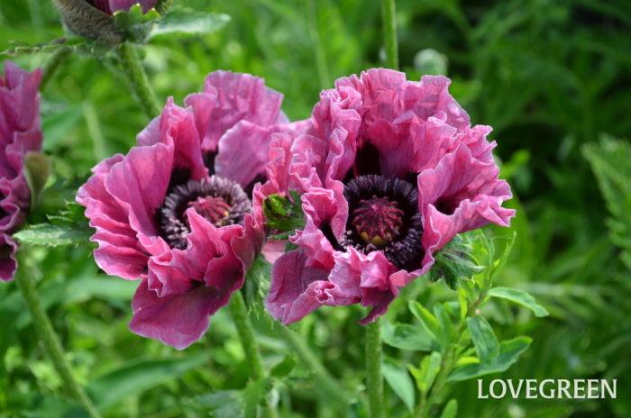 オリエンタルポピー  新緑と共に初夏の花が次々と咲き出す6月は、透けるような花びらが魅力のオリエンタルポピー。北海道の寒暖の差が生むルピナスの濃い花の色。ベル状の形の花で草丈の高い迫力のあるジキタリス。小さな花が可憐なゲラニウムが楽しませてくれます。