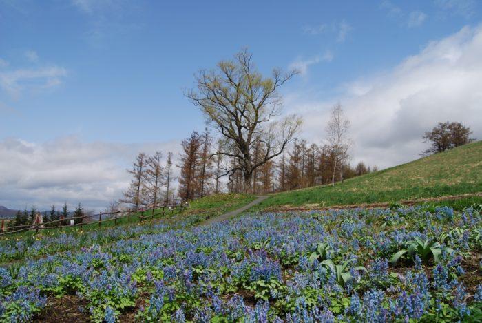 エゾエンゴサク  2008年に放送された「風のガーデン」の最終回をご覧になった方ならご存知ですね♩主人公が亡くなる前、娘のために植えた球根が最後の場面で一面に青い花が咲きます。その花がエゾエンゴサクなんです。  葉に白色の水玉模様が入るリーフプランツとしても人気の品種がある青い花のプルモナリアや原種系も多く植えられ、春風に揺れる花束のようにデザインされたチューリップ。ベル状の形が可愛いフリチラリア。白樺林いっぱいに咲き誇るスイセン。昨年上野ファームでたくさん植え付けたクリスマスローズが出迎えてくれます。