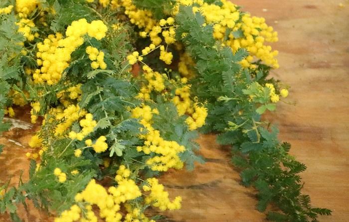 輝かしい黄色のお花ミモザ。吸い込まれてしまうような魅力あふれるミモザについてご紹介します!