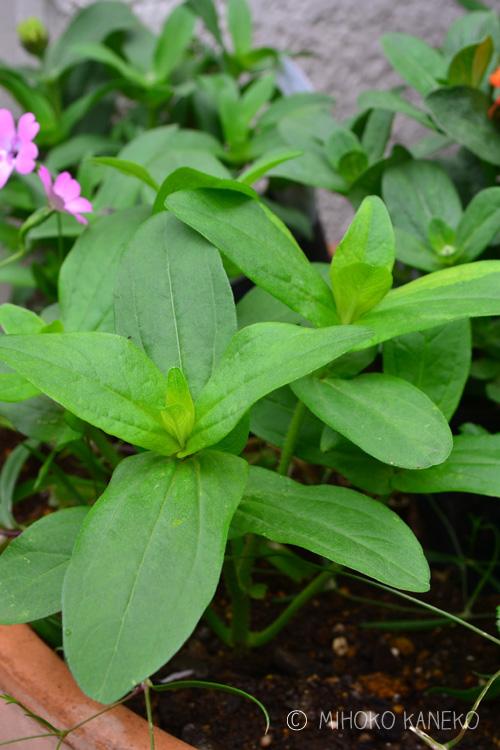 摘心とは、草花や野菜の茎の先をカットすることによって、脇芽の成長を促すことを言います。摘心のことをピンチ、芯止めと表現することもあります。