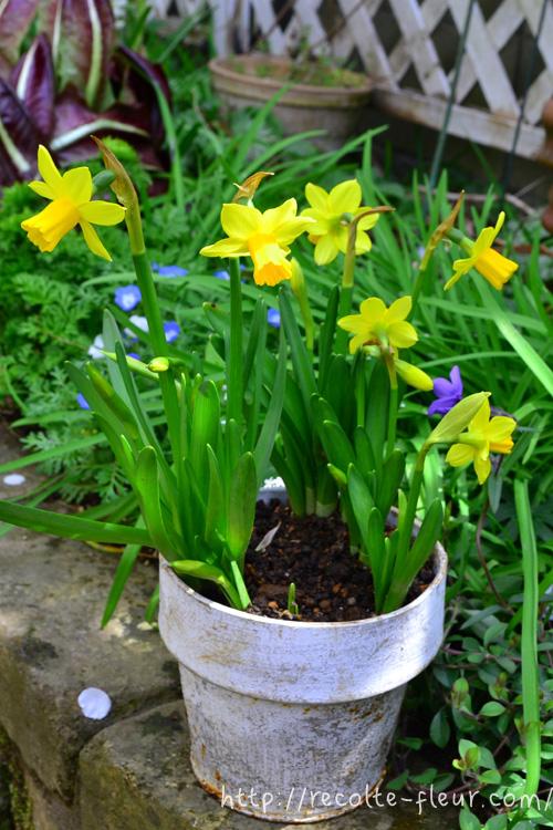 花の時期 1~4月  スイセンは草丈は20cm~40cmで白と黄色以外にピンクや緑、オレンジ、など色とりどりの品種がある春の球根の花です。最近は、八重咲種など、咲き方にも色々な特徴のある品種がでてきました。数年間は植えっぱなしで管理できて、環境が合えば球根がどんどん増え、年々花が見事になるので、群生すると見事です。