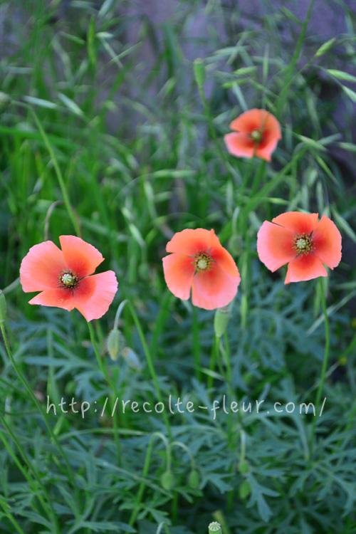 3月4月に咲く春の花 ナガミハナゲシ
