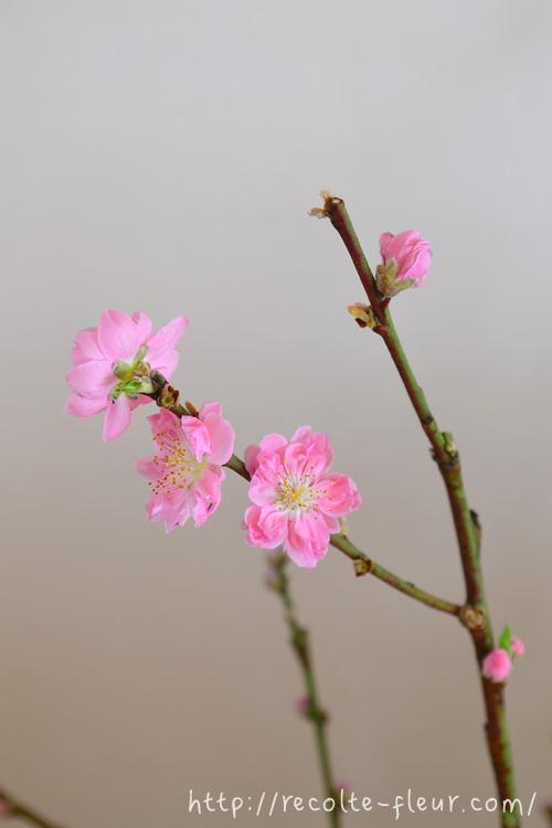 花の時期 3月~4月  ひな祭りの節句のころになると、花屋さんには桃の枝ものが出回りますが、本来の桃の開花時期はソメイヨシノとさほど変わらない3月後半~4月ごろに咲く花です。
