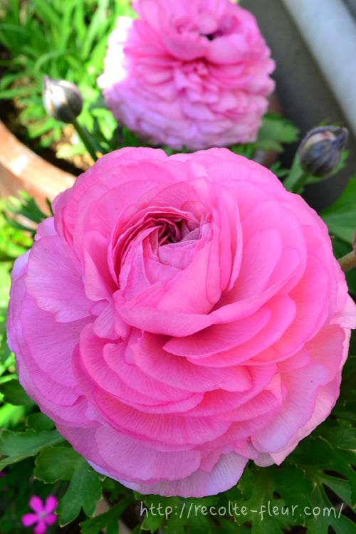 花の時期 2月~5月  ラナンキュラスは、春の花の中でも最近とりわけ人気で、苗ものとしても切り花としてもたくさんの品種が流通しています。球根の花の中では、開花期間が長いのも魅力のひとつです。特に3月~4月は美しく咲く時期です。