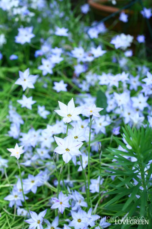 花の時期 3~4月  ハナニラは3月、4月の桜の花が咲くころに、無数の星型の花が開花します。「ハナニラ」という名前の通り、葉っぱと球根をこするとニラの香りがしますが、葉をちぎったり、カットしたりしない限りは匂わないので、特に気になりません。ハナニラは秋植え球根で、9月~10月に植えて翌春から開花します。球根は植えっぱなしで大丈夫なので、庭や花壇などの地植えにした場合は、球根を植え付ければ、その後の管理は不要と言ってもよいくらいです。