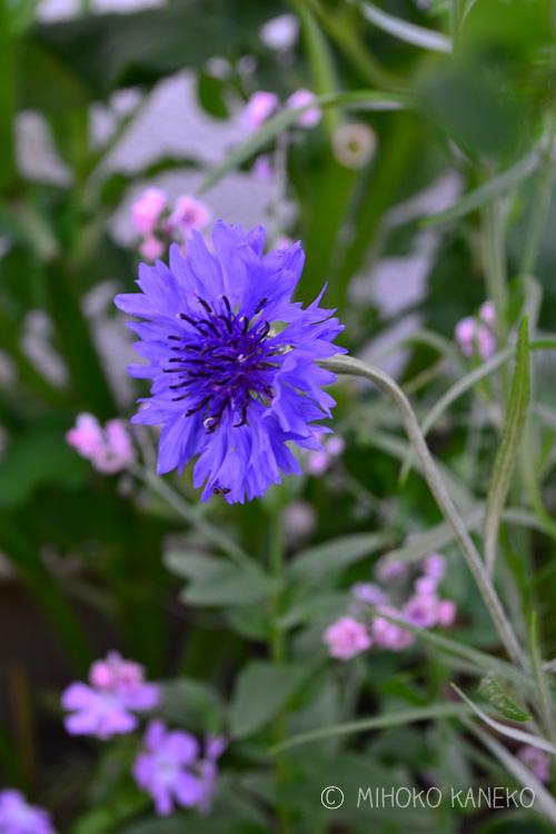 ヤグルマギクは初夏に咲く一年草です。苗ものとしても切り花としても春から初夏に流通しています。ドライフラワーにしてもきれいに青い色が残ります。