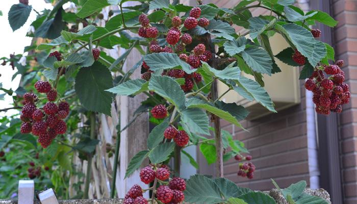 ブラックベリーの植え付け場所や鉢の置き場所 ブラックベリーは、日当たりがよく風通しのよい場所で育てます。ブラックベリーは、鉢植えでも地植えでも育てることができますが、生長力があるので鉢植えの場合は大きめの鉢が必要です。日当たりによって、花数がかなり違います。花数が違うということは、花の後に実がなるブラックベリーにとって、日当たりはとても重要です。