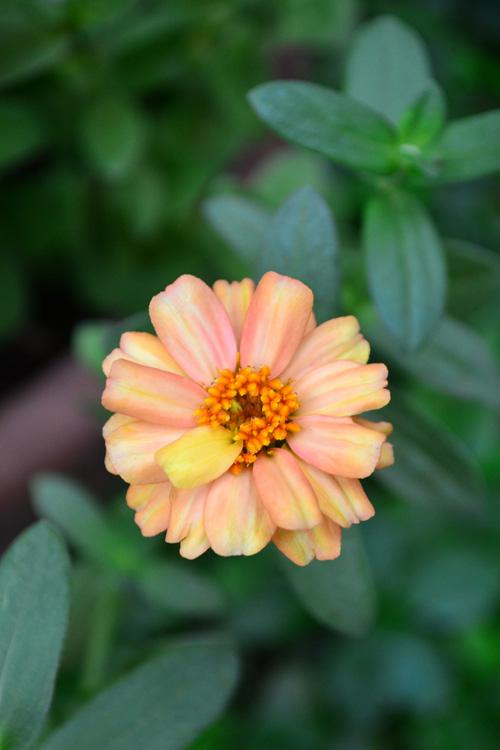 ジニアだけでなく、たくさん長く咲く草花の手入れで一番大切なのが「花がら摘み」。花がらとは終わった花のこと。終わった花を早めに摘み取り、次の花を咲かせることにエネルギーを回すようにします。ただし、リネアリスとプロフュージョンの系統のジニアは、花がら摘みをさほどしなくても、開花し続ける品種です。そのため、毎日手入れができない公園の花壇などにはこの系統がおすすめです。もちろん、この系統でも終わった花はまねに摘み取った方が見栄えがするので、一般的なジニアと同様の手入れをしても問題ありません。