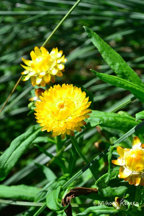 生花の時点でも、カサカサとした触り心地でドライフラワーのような帝王貝細工。6月から10月くらいまでの開花の1年草です。色彩が鮮やかで、水分が少ない花なので、短期間でドライフラワーになる花です。
