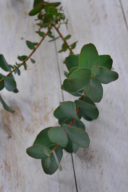 ハーブのユーカリ。シルバーグリーンの色、香りが人気のグリーンです。