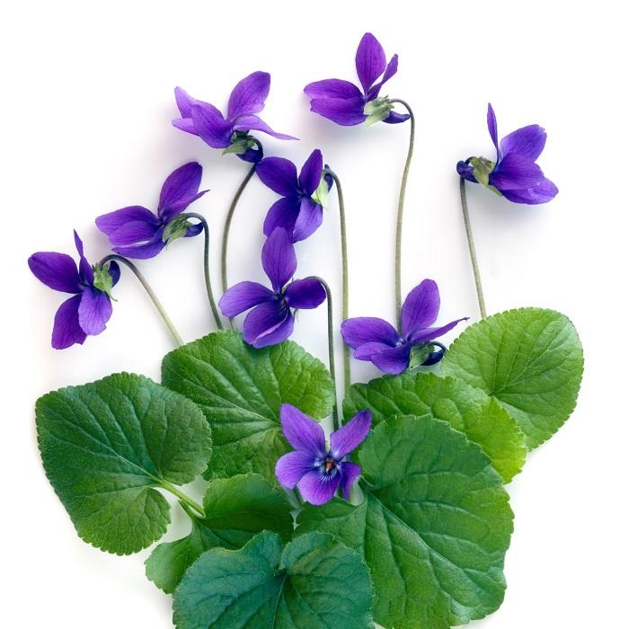 スミレ(菫)という植物はとても不思議な植物です。あの可愛らしい小さなお花は、実はちょっと不思議な作りになっています。スミレ(菫)の花をよーくよーく見てみると、花の後ろが細長く突き出すように袋状になっています。  この袋は「蜜房」といい、ここで蜜を分泌します。昆虫が蜜を求めてこのスミレ(菫)の花の中に入り込むと、体中が花粉まみれになり、この花粉まみれの昆虫が次の花へ移ることによって、次の花が授粉するという仕組みです。  なんて良く出来ているんでしょう!でも実はこの方法では確実には結実しないのです。  それよりもスミレ(菫)は、花が咲かなくなった夏以降に次々と結実し種を作ります。花が咲いていないのに結実するスミレ(菫)の花の不思議。結実と種の不思議については次でお話しますね。