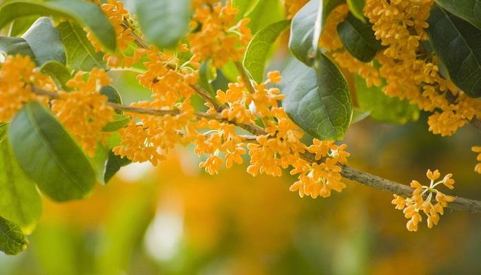 三大香木のひとつ、キンモクセイはこの時期に可愛らしいオレンジの花をたくさんつけます。