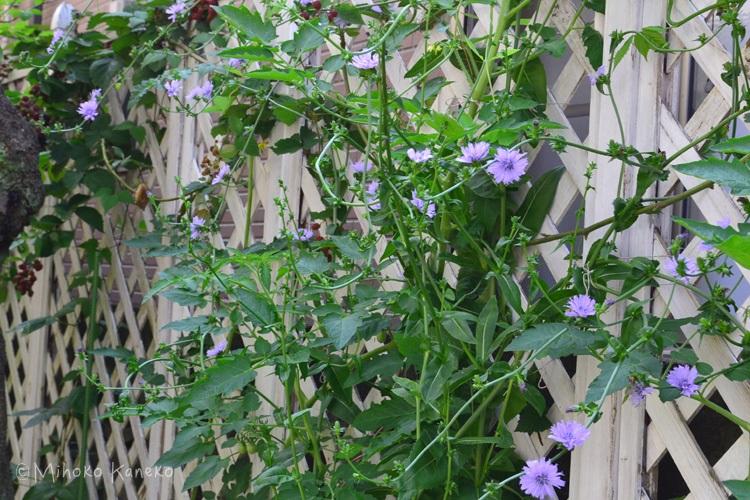壁際などの細長いスペースにはクレマチス・テイカカズラ・ヘンリーヅタなどのつる性の植物を這わせるように植えるのがおすすめ。壁に直接這わせると壁が痛みやすくなるので、ラティスなどのアイテムを利用しましょう。タテの空間を活用することで狭いスペースでも植物を楽しむことができます。