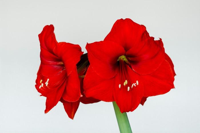 ユリに似た華やかな花アマリリス。1本でもインパクトがあり、切り花にも鉢植えにも利用されるお花です。存在感のある大輪の花の品種だけでなく、小さめの花をつける品種もあります。つぼみから花が咲くまでも時間がかかるため、長期間楽しめるお花です。