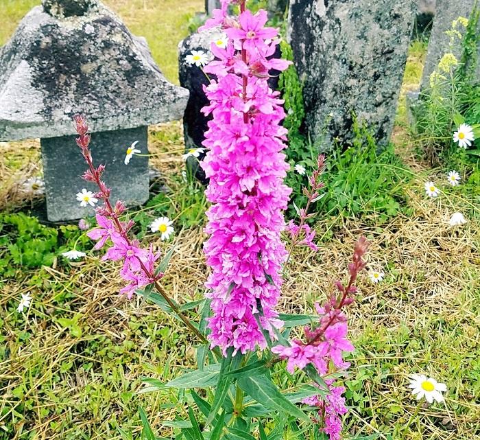 植物名 ミゾハギ(禊萩) 学名Lythrum anceps 英名Loosestrife 科名ミゾハギ科 属名 ミゾハギ属  原産地  日本 多年生の草本で、赤身のある紫の花を天に向かって伸ばした茎につけます。お盆時期にお供えしたり、花に水をつけて玄関周りをお祓いしたりと使われることがあり、禊(みそぎ)萩(ハギ)というのですね。