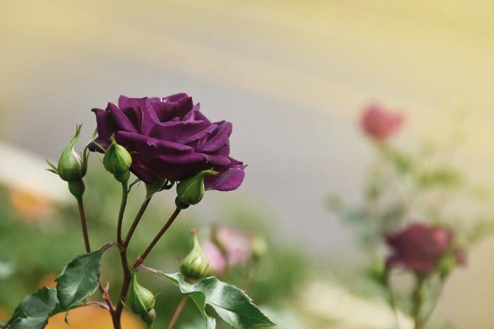 紫のバラの花言葉は、「誇り」「気品」「尊敬」です。ピンクは「感謝」「幸福」、白は「尊敬」というように色ごとに花言葉を持っています。