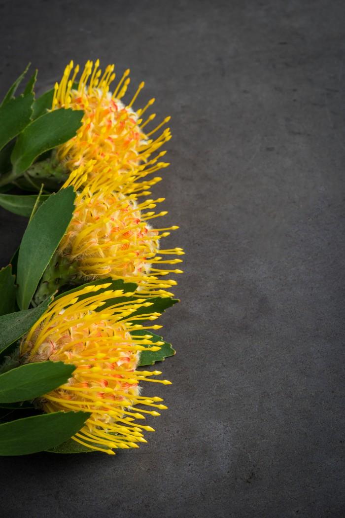 「ピンクッション」という言葉は針山という意味。花の名前は、針がたくさん刺さっているかのような花の姿に由来します。