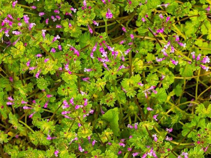 ホトケノザは、その葉の形が仏様の台座(蓮座)のように見えるというのが名前の由来です。また、葉が段状に付くところから、「サンガイクサ」という別名を持っています。道端や田んぼの畦道、コンクリートの隙間など「こんなところにも?」って言いたくなるくらい、いろんなところに生えているホトケノザ。畑の付近や土が肥沃な場所では、ホトケノザが群生している様子をよく見かけます。子供の頃にホトケノザの蜜を吸って遊んだ記憶のある方も多いでしょう。