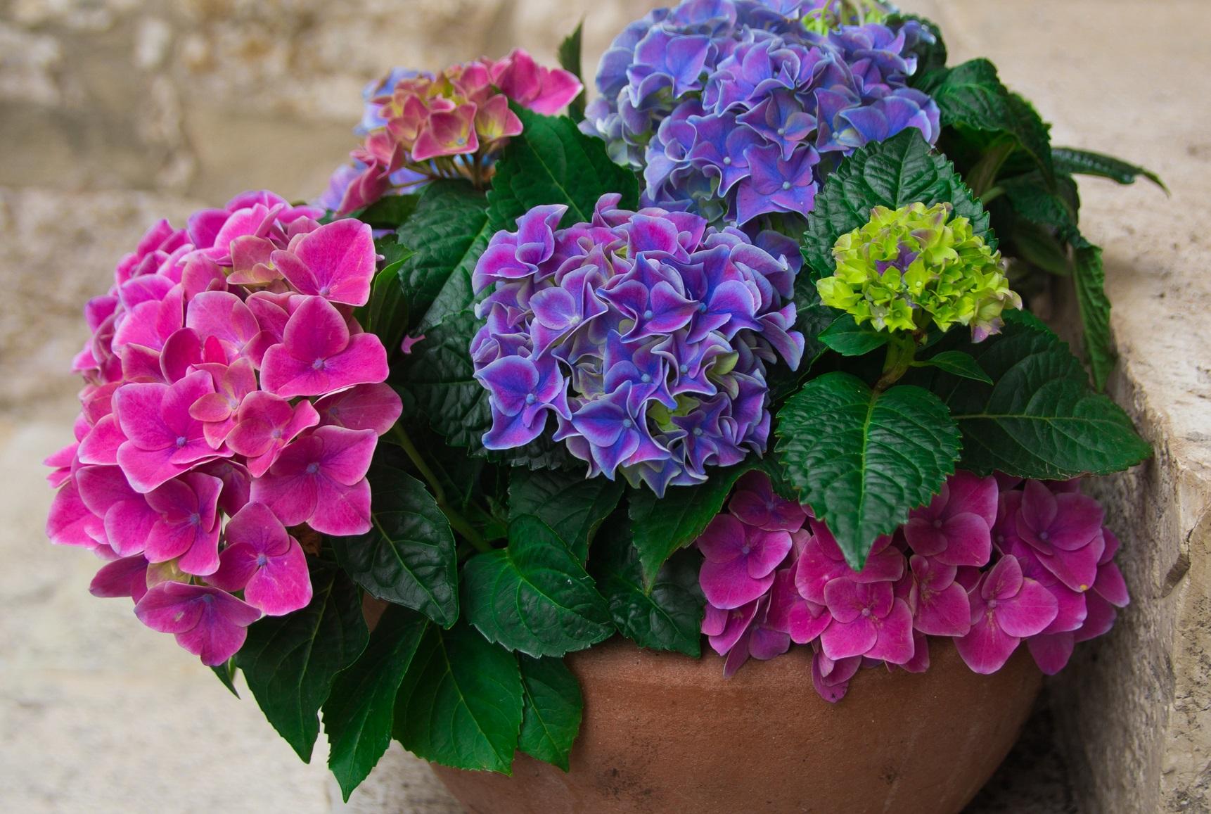 アジサイのお花に見える部分。じつはガクと呼ばれる部分なんです。ガクの真ん中ある点のようなものがお花。タマアジサイやセイヨウアジサイなどはかき分けた中にひっそりと小さなお花が隠れています。