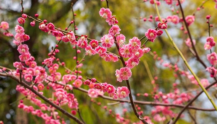 ウメは落葉樹で、花、香り、実も楽しめる庭木として人気があります。花色や香りの強さ、実のなり方など、沢山の品種がありますので庭木として植える場合はよく確認しましょう。公園やの山で梅が咲くともうすぐ春が来るんだなという気持ちになりますよね。