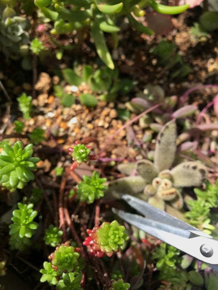 多肉植物ははさみで切り、切り口を乾燥させておきます。
