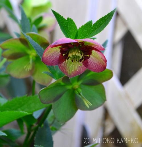 クレマチスやラナンキュラスと同じキンポウゲ科の植物。苗を購入するときは、健全に生育していて、花や葉に黒いしみなどの変色や、縮れのないものを選びましょう。  暑さが苦手なので、夏に直射日光が当たる場所は避けて植え付けましょう。