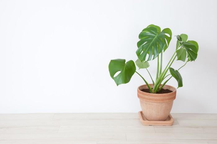 モンステラは大きな切れ込みの入った葉が迫力のある観葉植物です。大きな葉を展開するために、飾るスペースは必要になりますが、目隠しにもなるので、便利におしゃれに飾れる観葉植物です。