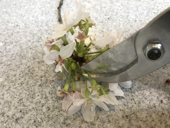 桜が終わるころ、ほんの少し残った桜の花の枯れてしまった部分だけをはさみで切りとり、一輪挿しにしてみましょう。