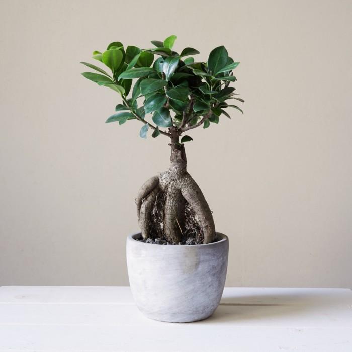 葉が丸くて肉厚で、根上り仕立ての人参のような足をしたガジュマルは「人参ガジュマル」と呼ばれ、盆栽のように室内で飾れ、インテリアとしても人気の観葉植物です。