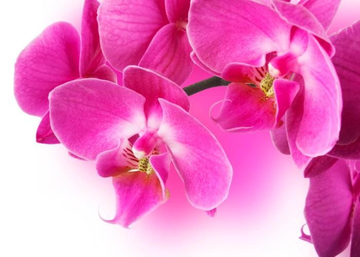 色もバラエティ豊かで、ランの中でもひときわエレガントなコチョウラン。お祝いに贈るお花として、定番のイメージが定着しています。