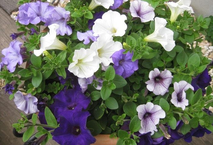寄せ植え初心者がまず大変なことは「苗選び」だと聞きます。園芸店でたくさんの苗が並んでいると、どの苗を選んで良いか困ってしまうというのです。そんな時は、気に入った花をひとつ選んでその花を複数植えてボリュームを出したり、色違いでグラデーションにつくるだけでも十分素敵に出来上がるのでおすすめです。
