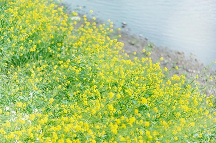 お彼岸は春分の日と秋分の日を中日(ちゅうにち)として、前後3日間、合計7日間をお彼岸の期間とされています。お彼岸は、自然やご先祖様に感謝を捧げる仏教の伝統行事です。ただし、お彼岸にお墓参りに行くのは日本独自の文化です。  春分の日は「自然をたたえ、生物をいつくしむ。」、秋分の日は「祖先をうやまい、なくなった人々をしのぶ。」と、自然や先祖を大切にする日本ならではの伝統文化として現在まで続いている習慣です。