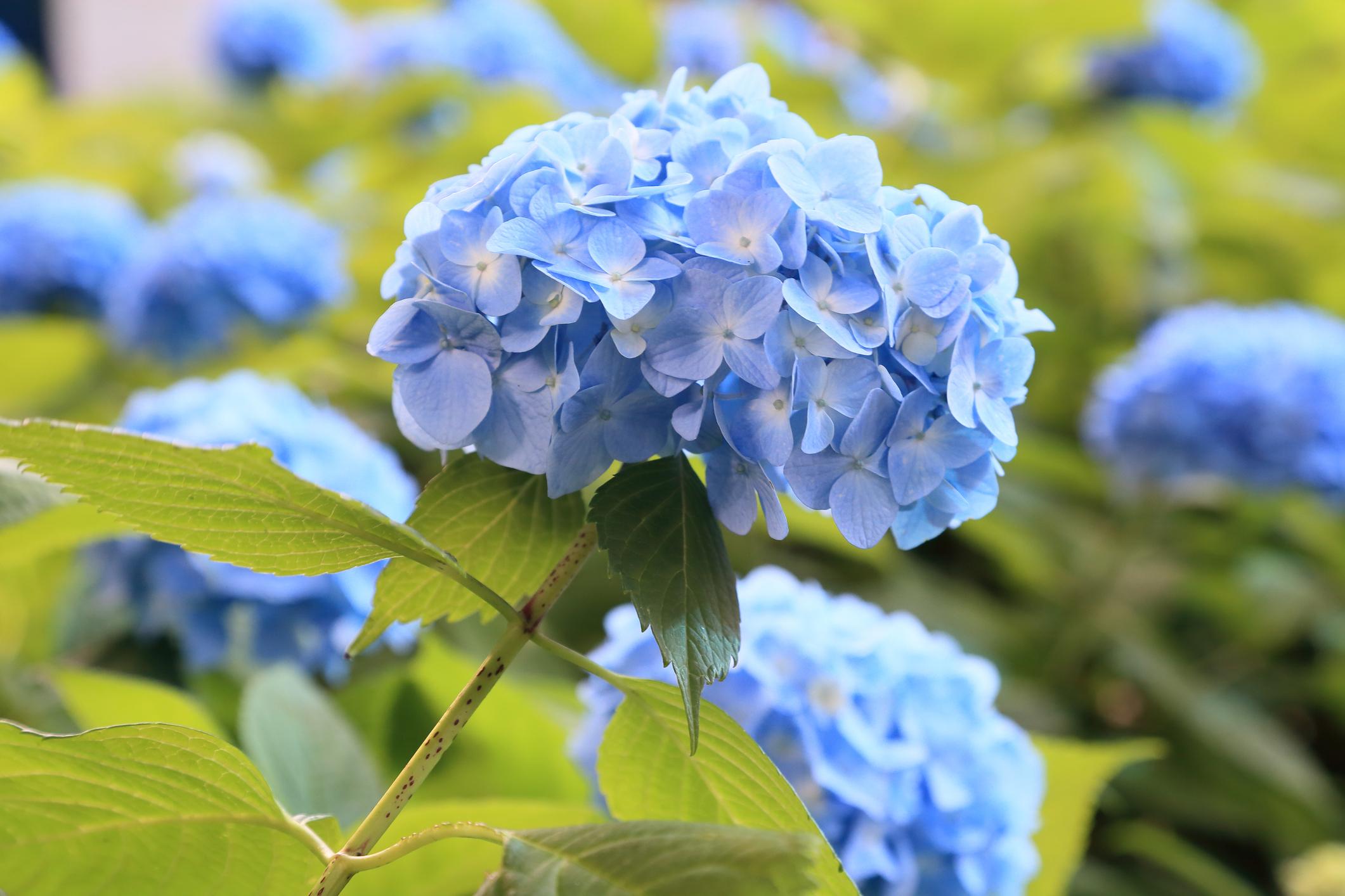 ちょうど母の日前くらいから6月にかけてアジサイの生花や鉢物が出回ります。  アジサイは落葉低木の植物で、英名はハイドランジアと言います。ハイドランジアとは、ラテン語でお水の器という意味。そのくらいお水が好きな植物です。和名ちょうど母の日前くらいから6月にかけてアジサイの生花や鉢物が出回ります。のあじさいは、集「あづ」真藍「さあい」あおいろがあつまる からきているとのこと。