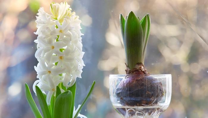 ヒヤシンスは球根を水耕栽培や鉢植え・地植えなどで楽しめる植物です。花色が豊富なこと、香りがいいことから近年さらに人気です。